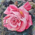 Pink Rose with Rosemary