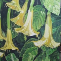 Yellow Angel's Trumpet Flowers